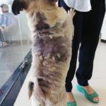犬の皮膚、脱毛